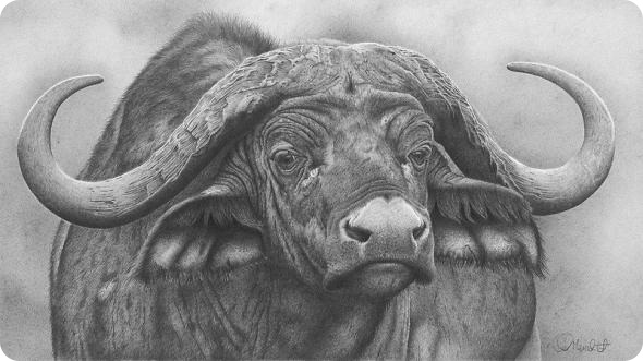 how to draw African Cape Buffalo step by step  YouTube
